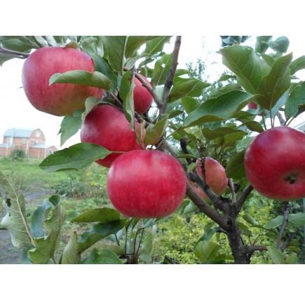 """Колоновидная яблоня """"Васюган"""""""