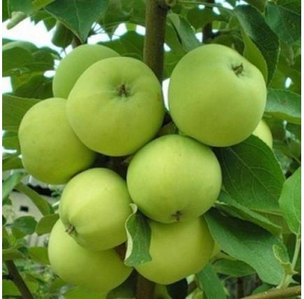 Яблоня «Папировка»