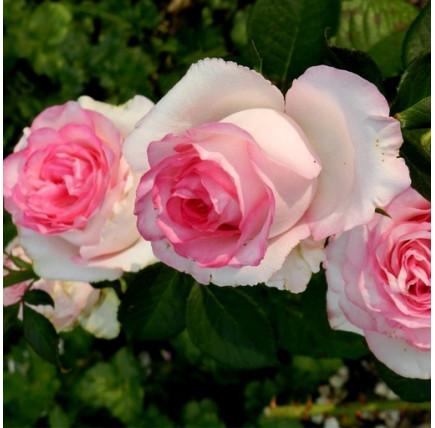 Роза кустовая «Долче Вита»