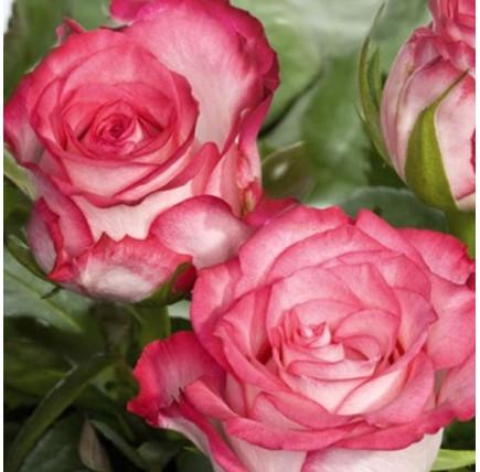 Роза кустовая «Н-Джой»
