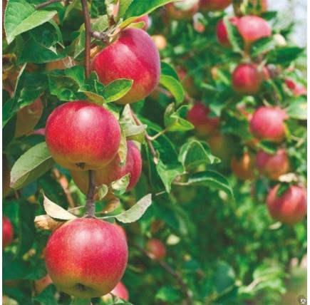 Яблоня «Малиновка»