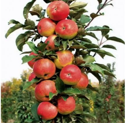 Колоновидная яблоня «Валюта»
