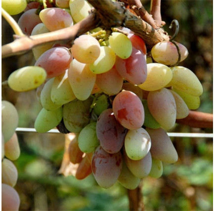 Виноград «Аврора»