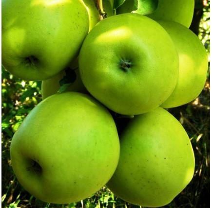 Яблоня «Мутсу»