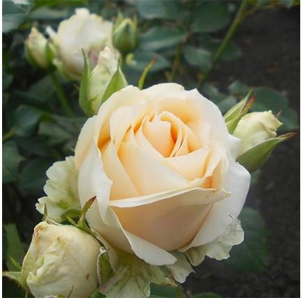 Роза кустовая «Аваланж»