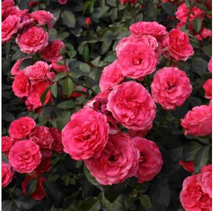 Роза плетистая «Симпатия»