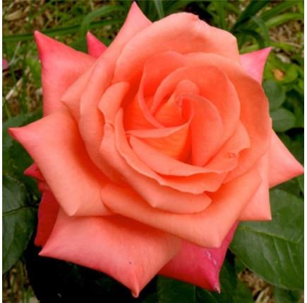Роза кустовая «Фольклор»