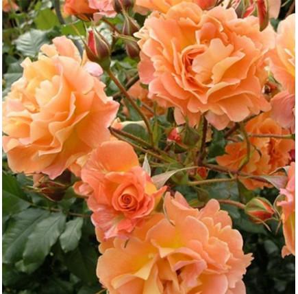 Роза плетистая «Синьора»