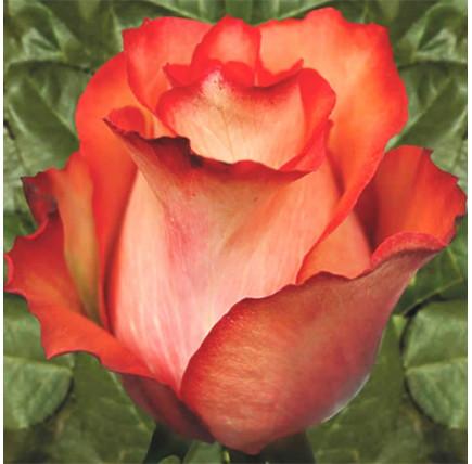 Роза кустовая «Игуаза»
