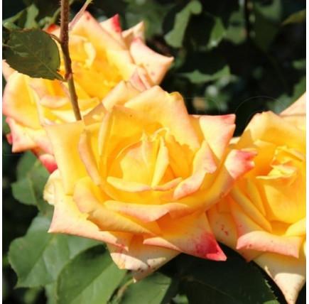 Роза кустовая «Мохана»