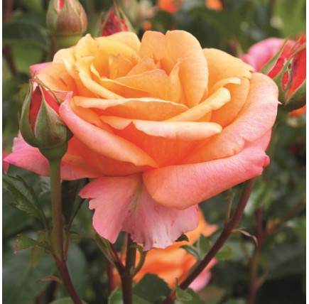 Роза кустовая «Черри Бренди»