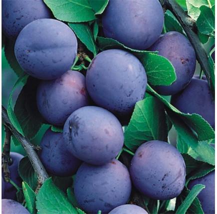 Слива «Яичная Синяя»