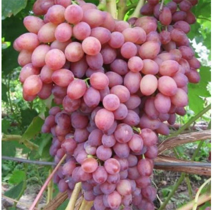 Виноград «Кишмиш Лучистый»