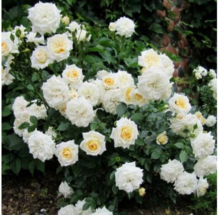 Роза миниатюрная «Ханимилк»