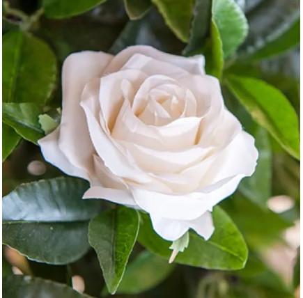 Роза кустовая «Анастасия»
