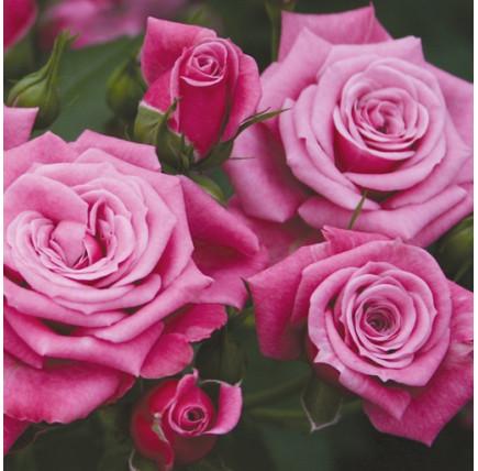 Роза кустовая «Джакаранда»