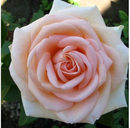 Роза кустовая «Осиана»