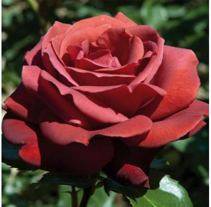 Роза кустовая «Терракота»