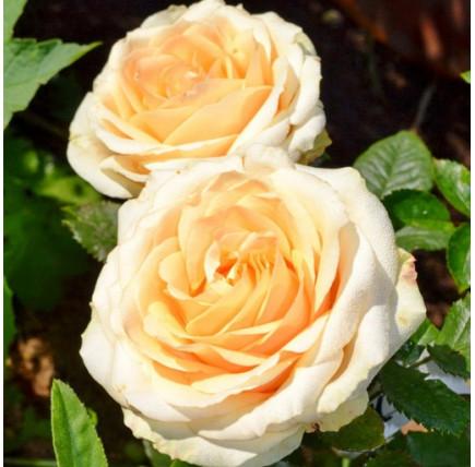 Роза кустовая «Пич Аваланж»