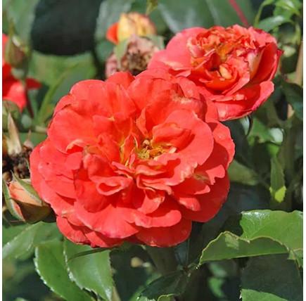 Роза кустовая «Братья Гримм»