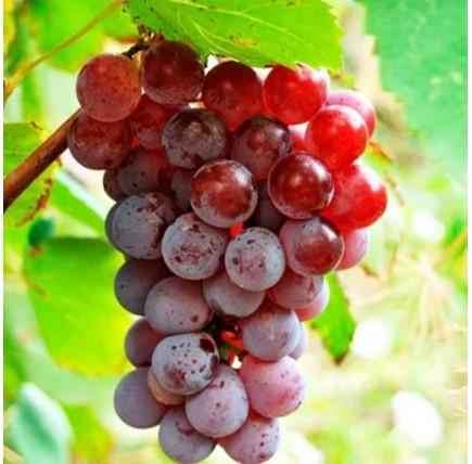 Виноград «Лидия»