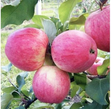 Яблоня «Штрейфлинг»