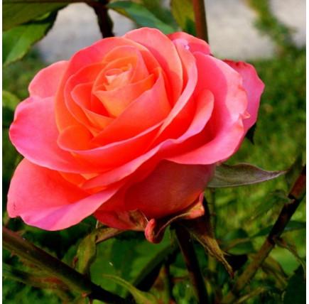 Роза кустовая «Тропиканка»