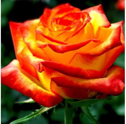 Роза кустовая «Солнышко»