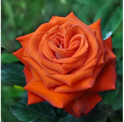 Роза кустовая «Верано»