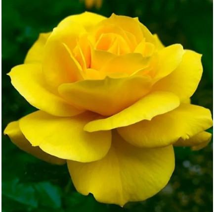 Роза кустовая «Фрезия»