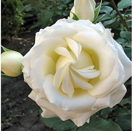 Роза кустовая «Боинг»