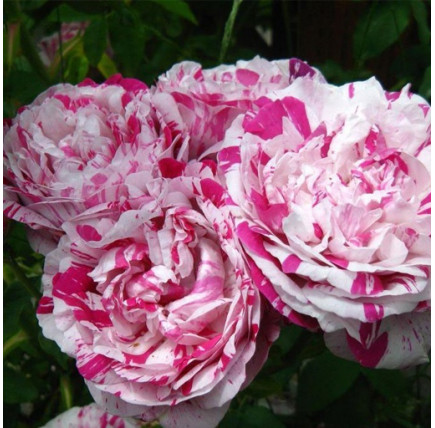 Роза плетистая «Ваниль Фрайз»