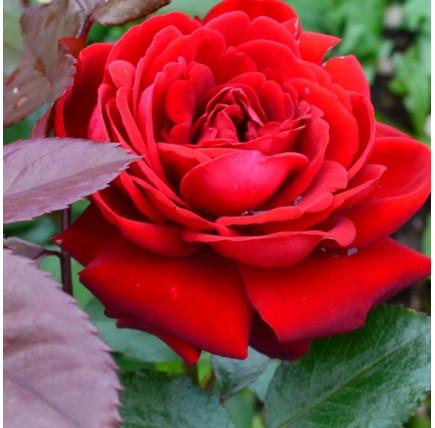 Роза кустовая «Никколо Паганини»