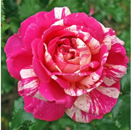Роза кустовая «Филателия»
