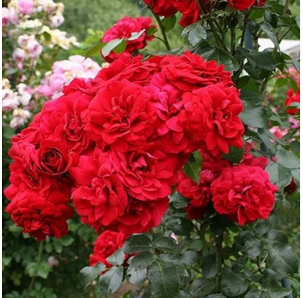 Роза плетистая «Амадеус»