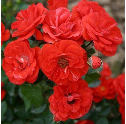 Роза плетистая «Оранж Мейландина»