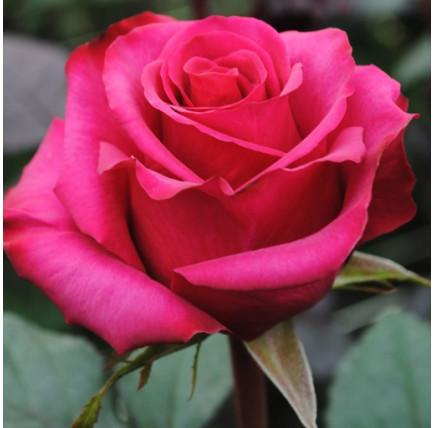 Роза кустовая «Джиральдо»