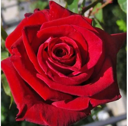 Роза кустовая «Американ Прайд»