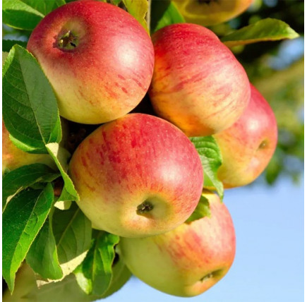 Яблоня «Уэлси»