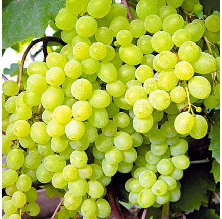 Виноград «Элегант»