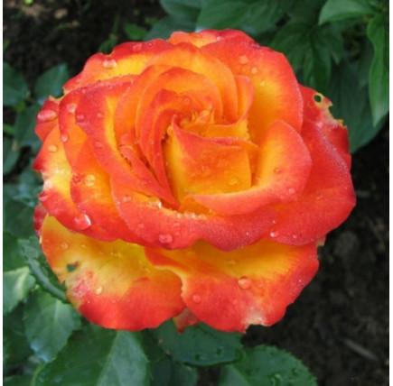 Роза кустовая «Хай Меджик»