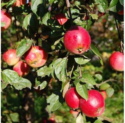 Яблоня «Звездочка»