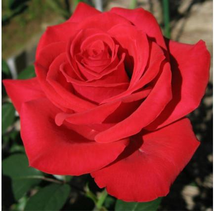 Роза кустовая «Черри Лав»