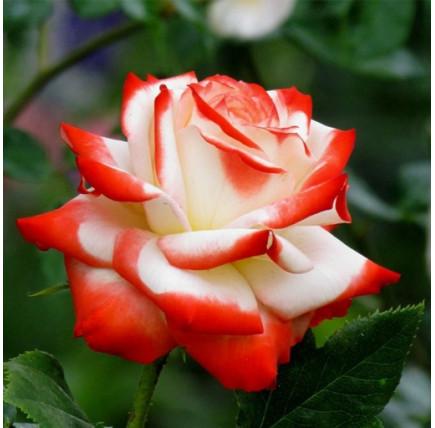 Роза кустовая «Императрица Фарах»
