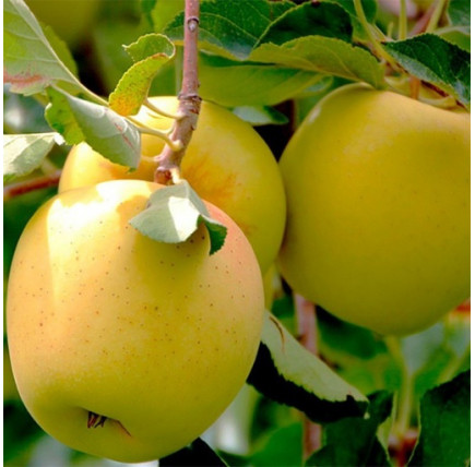 Яблоня «Голден делишес»