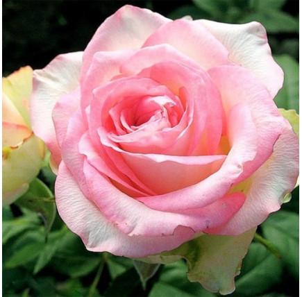 Роза кустовая «Белла Вита»