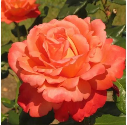 Роза кустовая «Вуду»