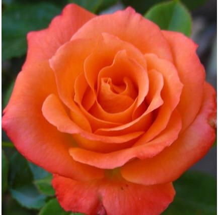 Роза кустовая «Оранж Джус»
