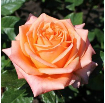 Роза кустовая «Лоллипоп»