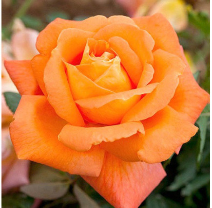 Роза кустовая «Луи де Фюнес»